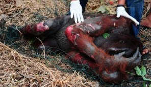 Orangutans -the victims of the palm oil industry.