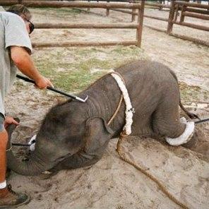 Training circus animals...