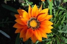 Oue kennelflower Black Orange's