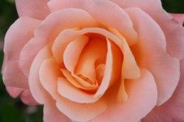 Kalmar rose