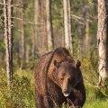 12 WBB 4-66björn i skog