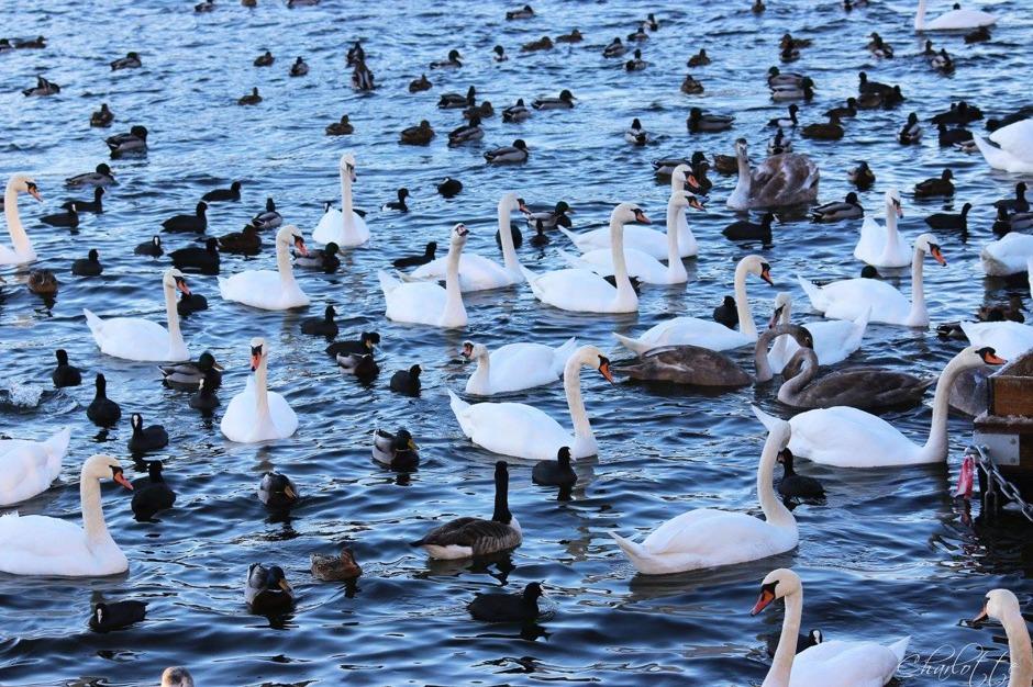 Fåglar i Strömmen