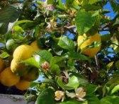 citroner kopiera beskuren