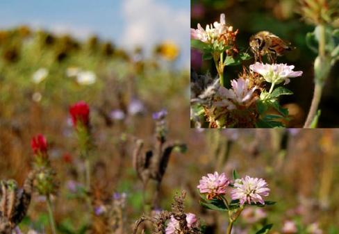 I september är honungsörten i stort sett överblommad men blodklöver och perserklöver blommar vackert och lockar mängder av bin och humlor. Foto Petter Halden, HS Konsult