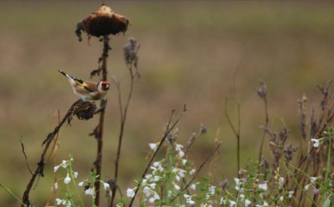 Steglits i solros ovanför blommande oljerättika som har vita eller lila blommor. Foto Petter Haldén, HS Konsult.