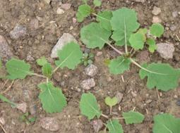 Höstoljeväxter sås när så är möjligt.