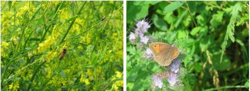 Pollinerare gynnas blommande SamZoner.  En slåttergräsfjäril besöker honungsörten till höger.