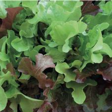 Sallad Red & Green Salad Bowl Mixed (ORGANIC)