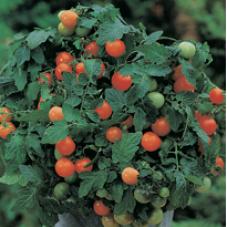 Tomat (Cherry) Garden Pearl