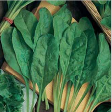 Spinach Beet Perpetual Spinach