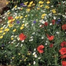 Wildflower Cornfield Mixture