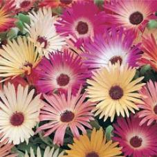 Mesembryanthemum Livingstone Daisy Mixed