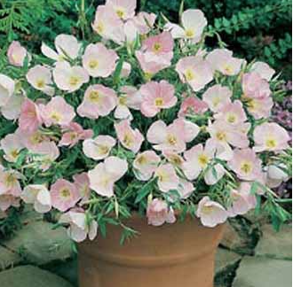 Evening Primrose Silky Orchid