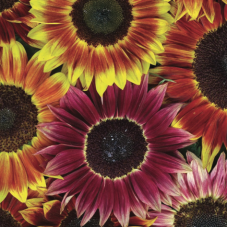 Solros, Sunflower Harlequin Mixed F1