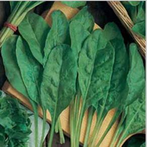 Spenat Beet Perpetual Spinach