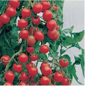 Tomat Gardener's Delight organic