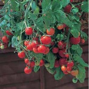 Tomat Tumbling Tom Red