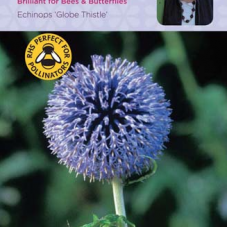 Echinops Globe Thistle
