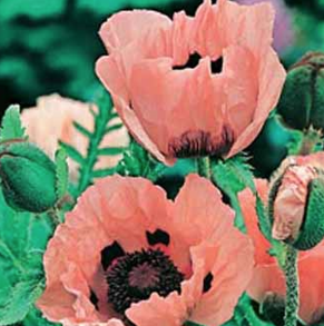 Poppy Oriental Princess Victoria Louise