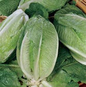 Sallad Lettuce Gelbus
