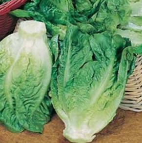Sallad Lettuce Little Gem