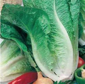 Sallad Lettuce Lobjoits Green Cos