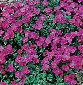 Aubrietia Red King