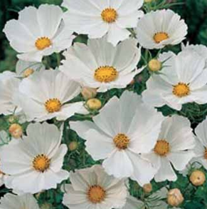 Cosmos Gazebo White