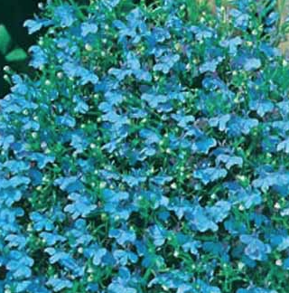 Lobelia Cambridge Blue