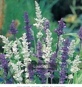Salvia Blue & White Mixed