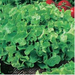 Sallad Lettuce Salad Bowl