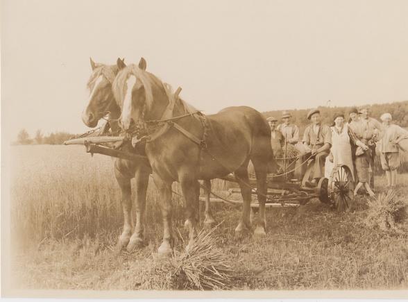 Skördetid med två vackra hästar