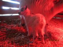 Nyfödda killingen Sigge, han blev bara 5 veckor! VILA I FRID, lilla Sigge