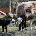 Frida, avelstacka med 2014 års lamm