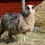 Flora, avelstacka. Dödad av en varg i januari 2015.