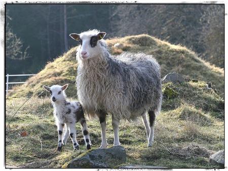 Till minne. Flora blev dödad av en varg januari 2015. Lammet på bilden, Vildas Skodda, född 2014 finns lyckligtvis kvar här och är ny avelstacka.