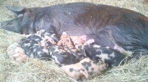 Inga-Lills kultingar. 5 galtar och 4 gyltor födda den 11 april.