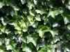 Hedera hibernica/ Storbladig murgröna