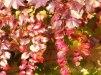 Parthenocissus tricuspidata Veitchii/ Rådhusvin