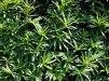 Taxus baccata/ Idegran