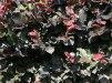 Fagus sylvatica Atropunicea/ Blodbok