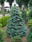 Abies concolor/ Coloradogran