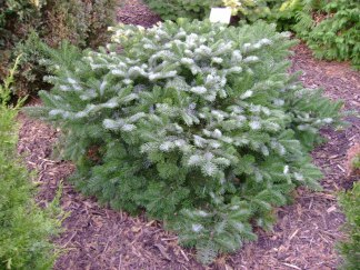 Abies amabilis 'Spreading Star'/ Purpurgran
