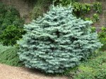 Abies concolor Compacta/ Coloradogran, compacta