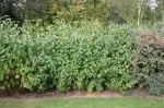 Cornus sericea 'Flaviramea'/ Gullkornell
