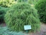 Chamaecyparis pisifera 'Filifera Nana'/ Dvärg trådcypress