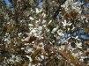 Amelanchier lamarckii/ Prakthäggmispel