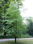 Cercidiphyllum japonicum/ Katsura