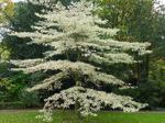 Cornus alterniflora controversa/ Pagodkornell