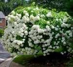 Hydrangea paniculata 'Grandiflora'/ Syrenhortensia